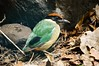 Noisy pitta (Pitta versicolor) (Seventh Heaven Photography) Tags: noisy pitta versicolor pittaversicolor sydney nsw new south wales australia bird nikond3200 buffbreasted lesser