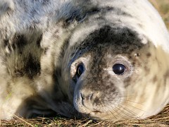 Seal Pup (Halichoerus grypus) (robin denton) Tags: seal donnanook greyseal nature wildlife lincolnshirewildlifetrust wildlifetrust halichoerusgrypus