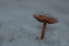 IMG_011889_k - Winter Wonderland (Monique van Gompel) Tags: canon canoneos750d 750d nature natuur natuurfotografie naturephotography winter snow sneeuw ijs ice winterwonderland macrofotografie macrophotography macro makro paddenstoel funghi fungus fungi mushroom