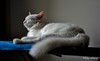 Clever as the Devil and twice as pretty! (@mons.always) Tags: cat feline white whitecats pooyie fluffy nikon d90
