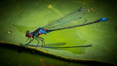 Zöld légivadász (Erythromma viridulum) pár potyautas atkával (jetiahegyen) Tags: tiszató rovar szitakötő kirándulás tour tanösvény túra túrázás hiking