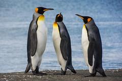 King Penguins - We Three Kings Wishing you a Happy Christmas (Barbara Evans 7) Tags: king penguins we three kings wishing you all a happy christmas south georgia st andrews bay antarctica barbara evans7