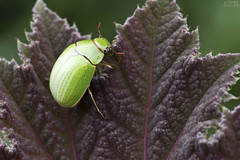 Shining leaf chafer (Platycoelia sp.) (ggallice) Tags: platycoelia coleoptera scarabaeidae rutelinae shiningleafchafer scarabbeetle