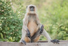 DSC_2946PS_1 (DouxVide) Tags: india honeymoon monkey male