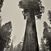 The General Grant Tree (Black & White, Kings Canyon National Park)