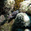 Spotted Murray Eel (Wim Bollein) Tags: murray eel animal reef bonaire dutchcaribbean caribbean bluewaters ocean scuba diving divingparadise diversparadise underwater underwaterparadise uwphotography water