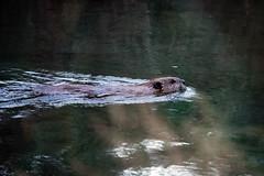 569-EM552575 (Teemu Paukamainen) Tags: canada banffalberta vermilionlakes fenlandloop olympusem5 olympus40150mmf28 beaver