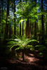 Whekī-ponga (katepedley) Tags: fern forest tree ponga wheki redwoods rotorua bayofplenty bay plenty newzealand new zealand northisland north island trees canon 5d 1740mm polariser