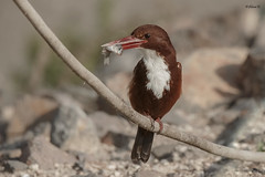 White-throated kingfisher (Dave 5533) Tags: whitethroatedkingfisher bird wild nature kingfisher naturephotography canoneos1dx sigma150600mmf563dgoshsm|s wildlife