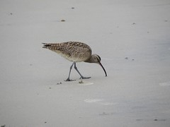 174: Whimbrel, Numenius phaeopus (aking1) Tags: birds numeniusphaeopus whimbrel sandiego california unitedstates