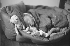 Sweet Dreams (Novanto) Tags: novanto film blackwhite asahipentaxspotmaticsp takumar 50mm ilford dog beagle