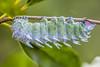 """Atlas moth"" (Neo-rajah) Tags: arthropoda atlas atlasmoth attacus attacusatlas borneo borneoexpedition lepitoptera malaisie malaysia saturniidae chenille mitedelatlas"