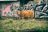 DSC04420 (FarewellFire) Tags: bali cow echobeach indonesia