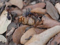 P1030904 (Dr Zoidberg) Tags: hormigas escarabajo zuiko50mmmacro