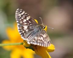 Pyrgus communis, Common Chekered-skipper (tripp.davenport) Tags: tx skipper lepidoptera mission naba pyrguscommunis commoncheckeredskipper hidalgocounty northamericanbutterflyassociation