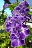 Duranta repens (dgardenia) Tags: flowers macro nature wisteria perennial chinagirl racemes geishagirl durantarepens