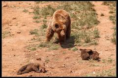 Osos (Ral Mena) Tags: bear naturaleza nature animal animals fauna canon animales cantabria osos cabrceno 500d canon70300 canoneos500d