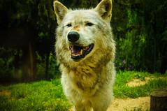 DSC00276 (ifernando2) Tags: wolf wildanimal lobo
