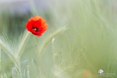 Rouge sur vert (photosenvrac) Tags: nature fleur bokeh coquelicot beaugency thierryduchamp