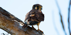 American Kestrel (trinstanprep) Tags: california las sky cloud bird sports water animal america forest canon butterfly landscape photography bay waterfall high raw zoom bokeh outdoor wildlife awesome birding parks insects sharp clear telephoto american area shutter resolution serene manual adventures tamron kestrel lenses ake autofocus cmos 70d positas 150600mm