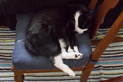 lounge (jojoannabanana) Tags: cat relax chair lounge lazy curl tuxedocat 3652015