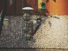 Photo of Great Spotted Woodpecker 24/06/15