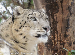 NYC - Central Park Zoo - Snow Leopard (etacar11) Tags: newyorkcity centralpark manhattan snowleopard zoos centralparkzoo leopards pantherauncia flickrbigcats