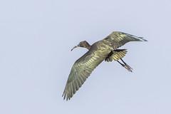 Juvenile White-faced Ibis flying - 1E2A0063 (swamp birder) Tags: