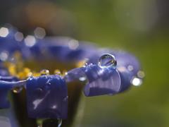 Renewal (A_Peach) Tags: blue flower macro closeup spring pflanze blume makro frhling 2015 flektogon35mmf24