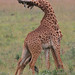 Battling Giraffes