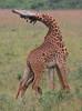 Battling Giraffes (Rainbirder) Tags: kenya giraffacamelopardalistippelskirchi masaigiraffe nairobinationalpark rainbirder