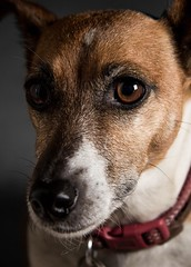 196/365 - Honey (Forty-9) Tags: portrait dog canon wednesday studio fur eyes flash july canine shy honey jackrussell 365 scared efs1785mmf456isusm day196 timid 2015 project365 strobist efslens strobism 196365 yongnuo eos60d project3652015 rookietom 3652015 tomoskay speedliteyn560iv 15thjuly2015