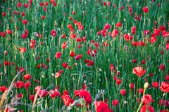 Poppy field (Infomastern) Tags: red flower field poppy blomma röd geolocation vallmo fält camera:make=canon exif:make=canon skateholm exif:lens=efs18200mmf3556is exif:focallength=70mm exif:aperture=ƒ50 exif:isospeed=640 camera:model=canoneos760d exif:model=canoneos760d