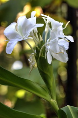 ginger lilies (jamespicht) Tags: flower louisiana natchitoches gingerlily