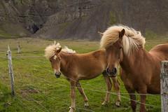 Icelandic Horses 217 of 365 (2) (bleedenm) Tags: summer horses iceland farm 2015