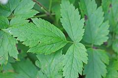 CAC033186a (jerryoldenettel) Tags: flower berry nm wildflower ranunculaceae 2015 baneberry actaearubra actaea ranunculales eudicots sanpedroparks rioarribaco vegaredondotrail43