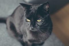 IMG_7021 (BalthasarLeopold) Tags: animal animals balthasar blackcat blackcats cat cats closeup dephtoffield dof feline felines indoorcat kitten kittens leopold pet pets