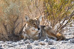 jad·ed (Marc Briggs) Tags: dsc056200002aw coyote canislatrans songdog canis dog deathvalley deathvalleynationalpark wildlife