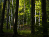 (Botond Pataki) Tags: nature forest autumn fall color colors green dark light lights shadow shadows contrast silhouette tree trees bole trunk leaves outdoor hungary matra