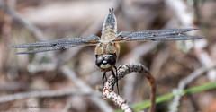 Dragonfly (Timo Halonen) Tags: fourspottedchaser ruskohukankorento nikon dx fx d5200 nikkor 70300mm kasiniemi häme finland libellula quadrimaculata