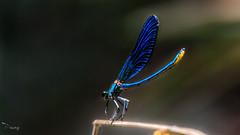 Calopteryx splendens - Banded demoiselle - Çizgili kızböceği (erkek) (Street Parrot) Tags: color water flower blue light closeup natural plant animal fly insect wildlife dragonfly wild bug mavi demoiselle pentax k10d böcek kızböceği yusufçuk 300mm f4