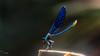Calopteryx splendens - Banded demoiselle - Çizgili kızböceği (erkek) (omardaing) Tags: color water flower blue light closeup natural plant animal fly insect wildlife dragonfly wild bug mavi demoiselle pentax k10d böcek kızböceği yusufçuk 300mm f4