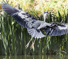 Flaps down (Steve-h) Tags: heron bushypark birds nature natura natural naturaleza greatgreyheron landing action movement wing feathers grey orange green yellow colour colours water pond lake park bushy dublin ireland europe spring april 2016 steveh sun sunny sunshine sunlight