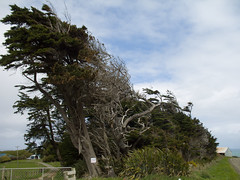 409 - Arbres penchés de The Catlins