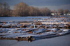 Snow covered log booms (D70) Tags: 10365 north arm fraser river taken from foreshore park burnaby bc canada snow covered log booms
