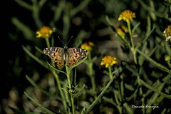 Mariposa (golfodelsur) Tags: mariposa butterfly naturaleza natureplus flores insecto campo