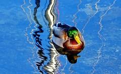 A male mallard duck (Anas platyrhynchos): a series (peggyhr) Tags: peggyhr sunshine blue sky vancouver bc canada dsc03037ab falsecreek mallard drake male glossygreen yellow white burgundy level1pfr thegalaxy infinitexposurel1 anaturecanvasl1 super~sixbronze☆stage1☆ favtop019faves
