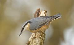 Nuthatch (J J McHale) Tags: sittaeuropaea bird scotland nature wildlife nuthatch