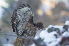 Winter 2017 (kellimatthews) Tags: winter snow outside outdoors oregon pnw hawk bird raptor wings dof bokeh sunrise freezing