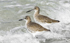 Willets in the Waves (C. P. Ewing) Tags: bird birds animal animals sanderlings nature natural ocean gulf shore waves sea sand water all wildlife mexico